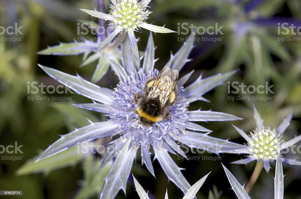 Bumble Bee on Spiky Blue Purple Flower royalty-free stock photo