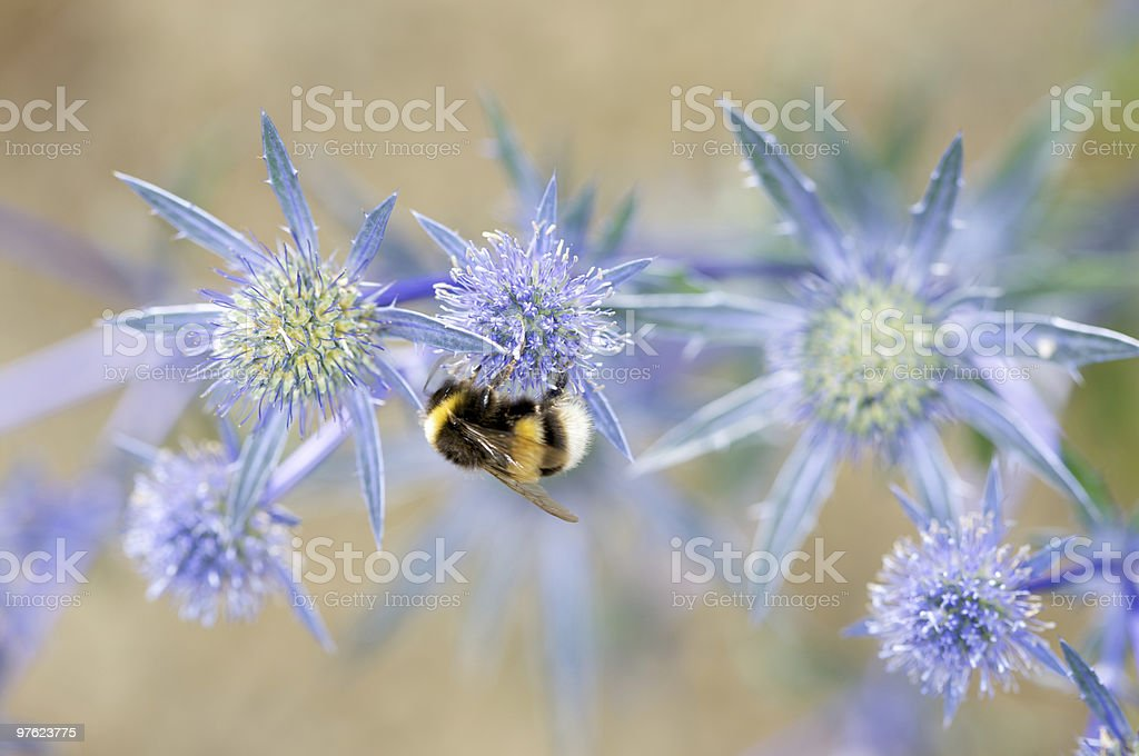 Bumble Bee sur Spiky Bleu Fleur violet photo libre de droits
