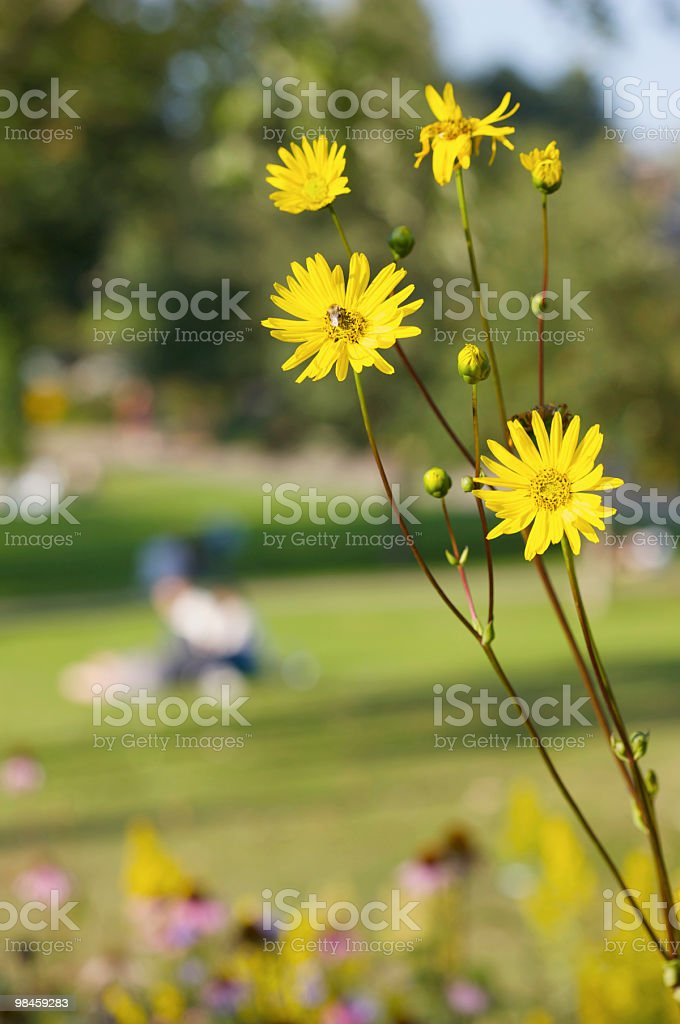Bumble Bee on Yellow Daisies and Lovers in the Park royalty-free stock photo