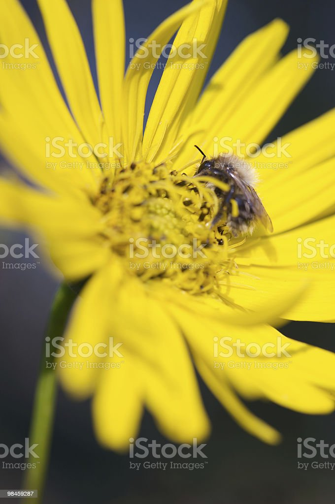 Bumble Bee on Yellow Daisy royalty-free stock photo