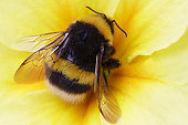 bumble bee on yellow