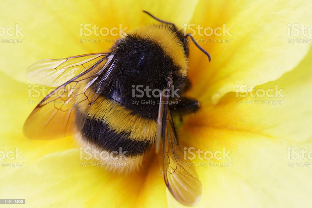 bumble bee on yellow stock photo