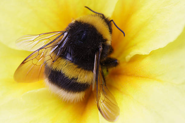 bumble bee on yellow - bumblebee stock pictures, royalty-free photos & images
