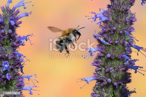 Bumble bee on agastache,Eifel,Germany. Please see more similar pictures of my Portfolio. Thank you!
