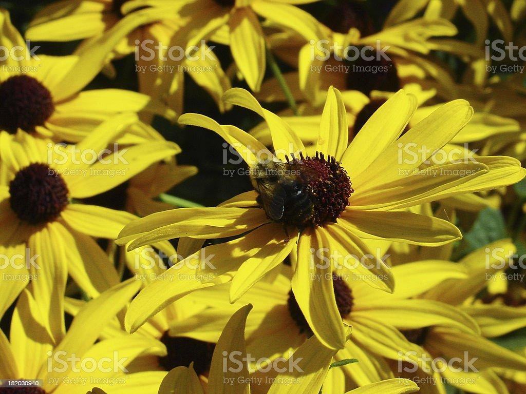 Bumble Bee stock photo