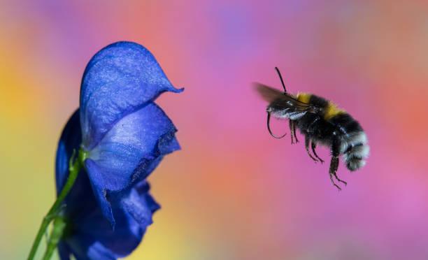 bumble bee - Photo