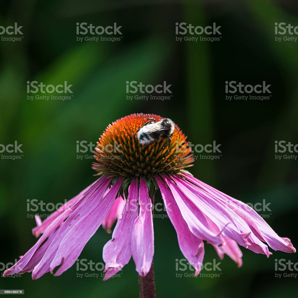 Bumble bee pollenating on echinacea pallida cone flower in Summe stock photo