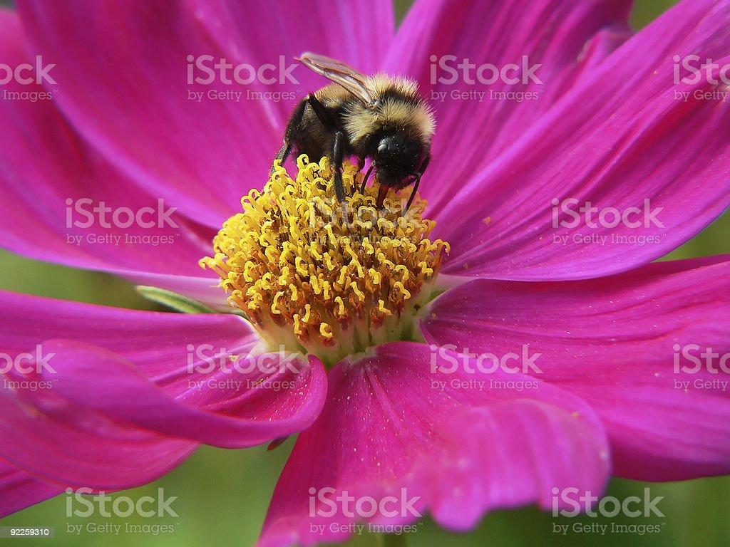 bumble bee pollenating stock photo
