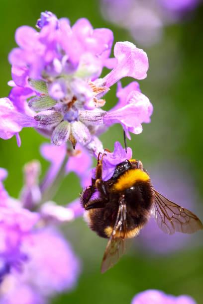 bumble bee pollinating lavender flowers - calabrone ape foto e immagini stock