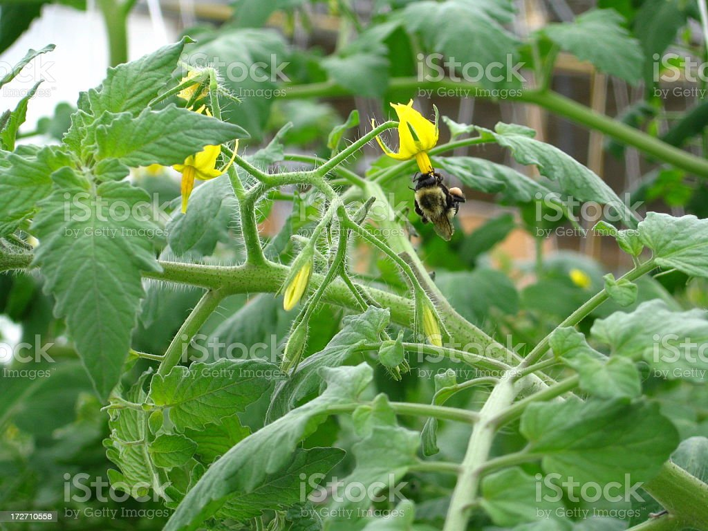 Bumble Bee Pollinating Tomato Flower stock photo