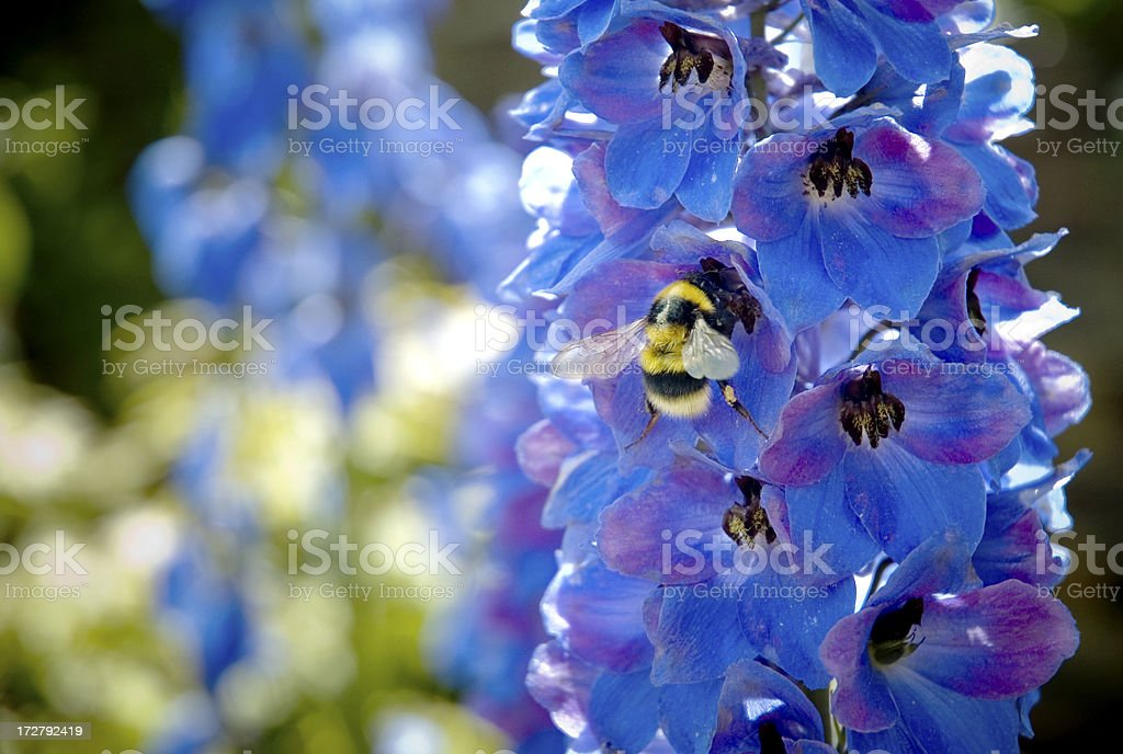 Bumble Bee Pollination stock photo