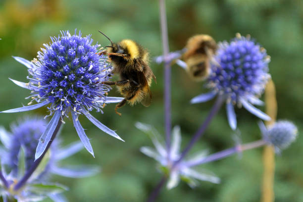 Bumble Bees at Work stock photo