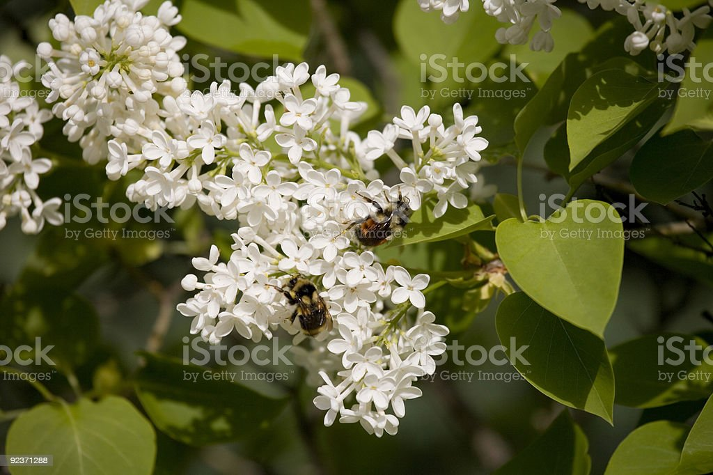 Bumble Bees pollinating flowers royalty-free stock photo