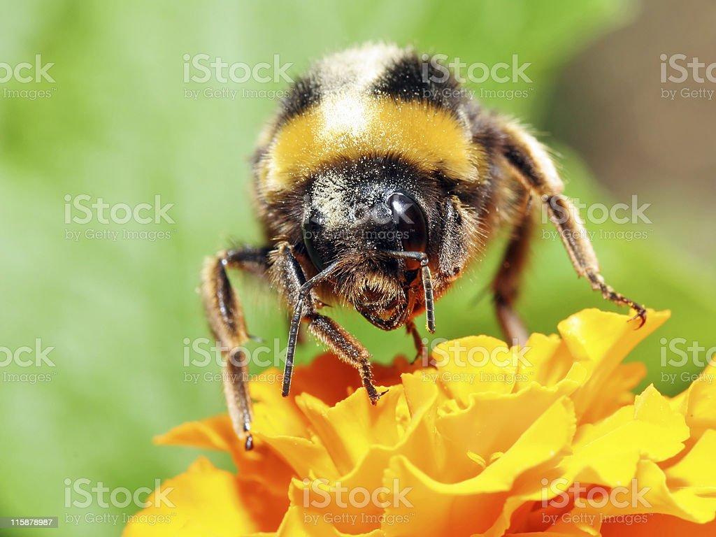 Bumblebee 5 royalty-free stock photo