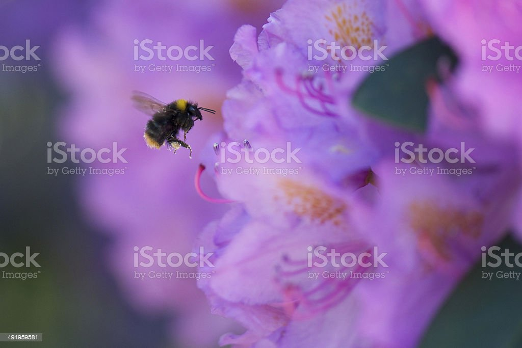 Bumblebee and pink flowers of Rhododendron (Roseum Elegans) stock photo