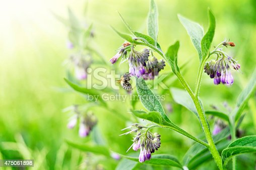 bumblebee or bee sitting on a purple spring flower. Sunny flower field in spring with insect. Close-up of a spring flower. Comfrey or blue comfrey on a blossoming meadow with selective focus and copy space.