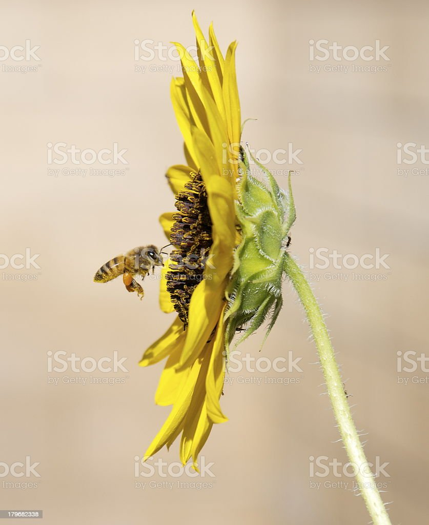 bumblebee approaching sunflower royalty-free stock photo