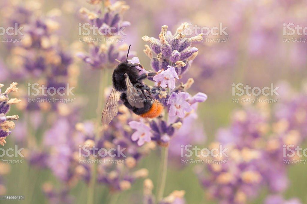 Bumblebee As A Pollinator stock photo