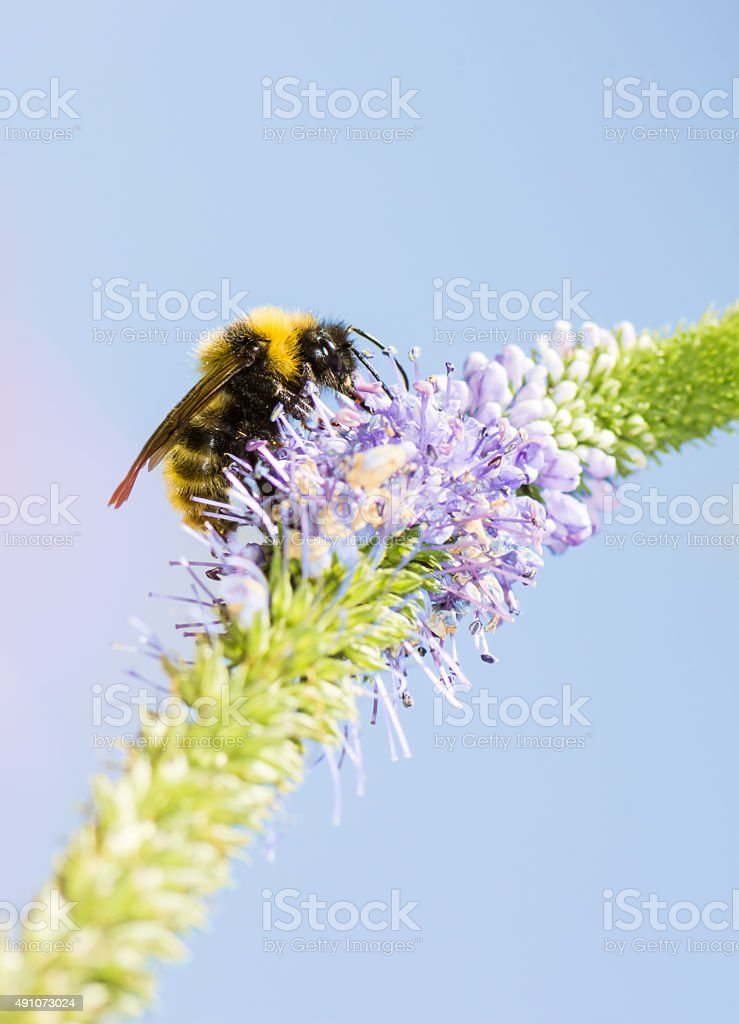 Bumblebee at a Veronica spicata flower stock photo