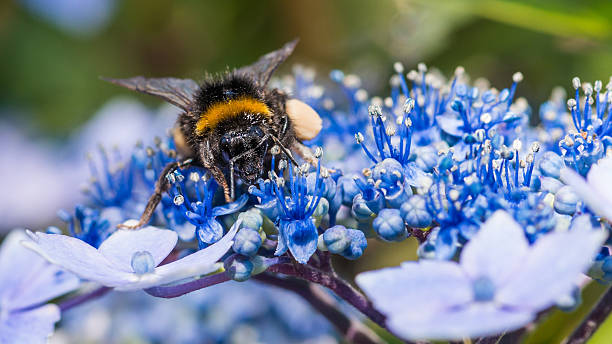 Bumblebee Browsing stock photo