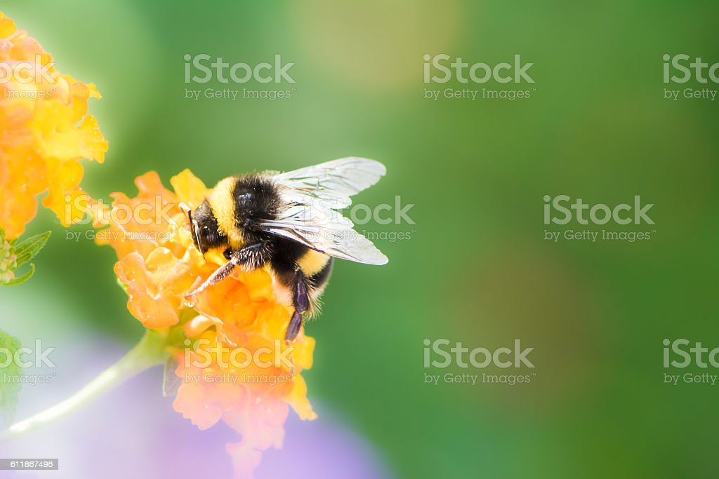 Bumblebee collecting nectar on a lantana camara flower stock photo