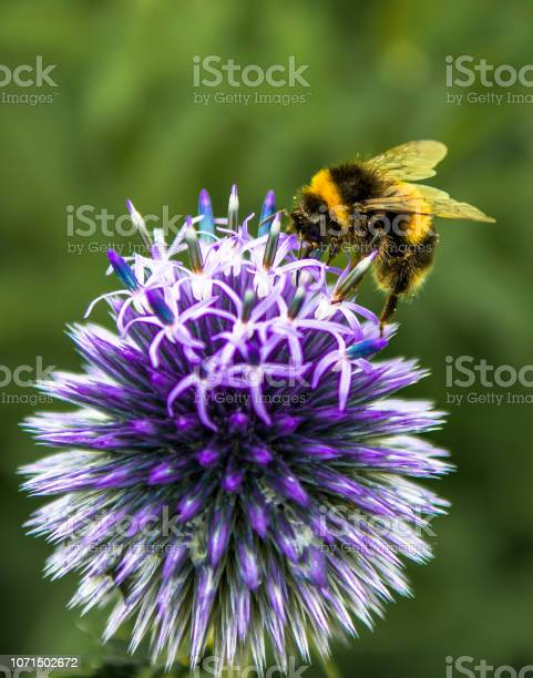 Photo of Bumblebee Collecting Nectar On Top Of Purple Flower