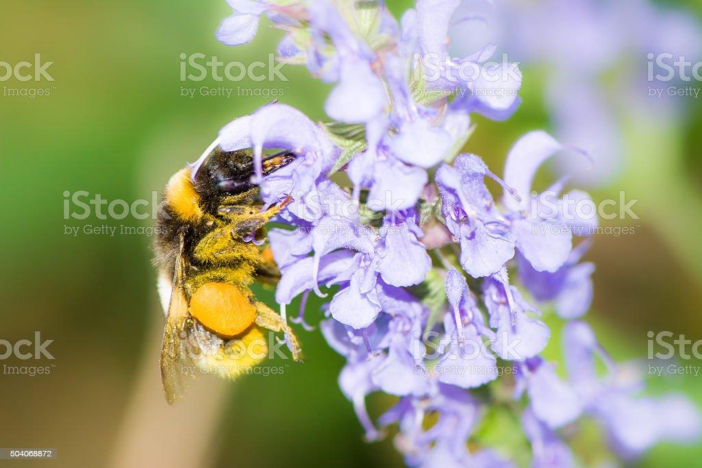 Bumblebee collecting nectar stock photo
