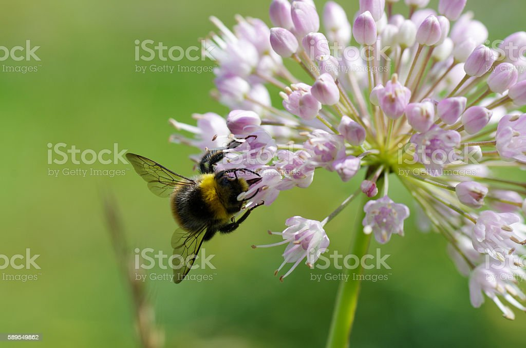 Bumblebee collecting pollen from an allium flower stock photo