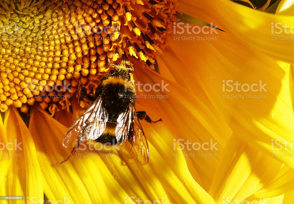 Bumblebee collecting pollen from bright yellow flower royalty-free stock photo
