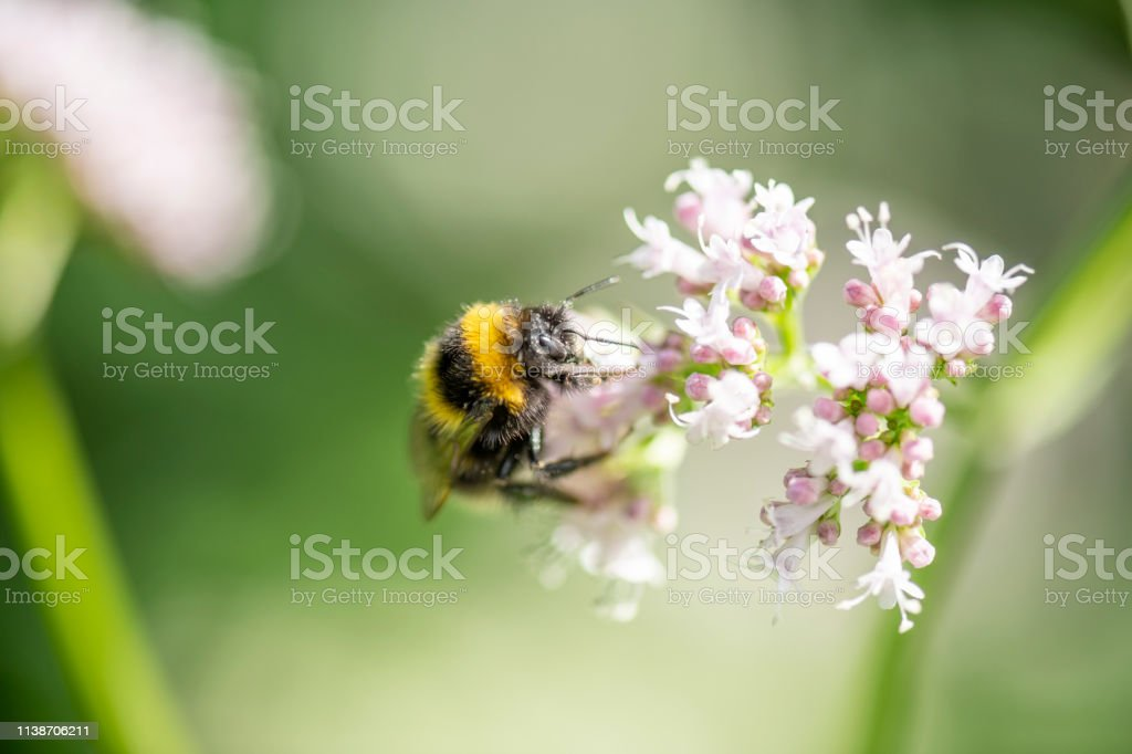 Bumblebee collecting pollen from small flowers stock photo
