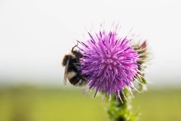 Bumblebee Collecting Pollen on a Purple Thistle stock photo