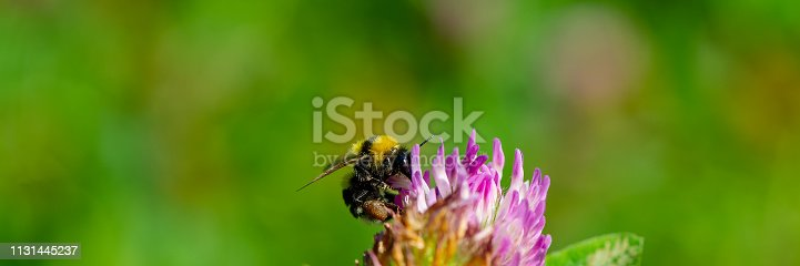 istock Bumblebee collects nectar and pollen from clover. 1131445237