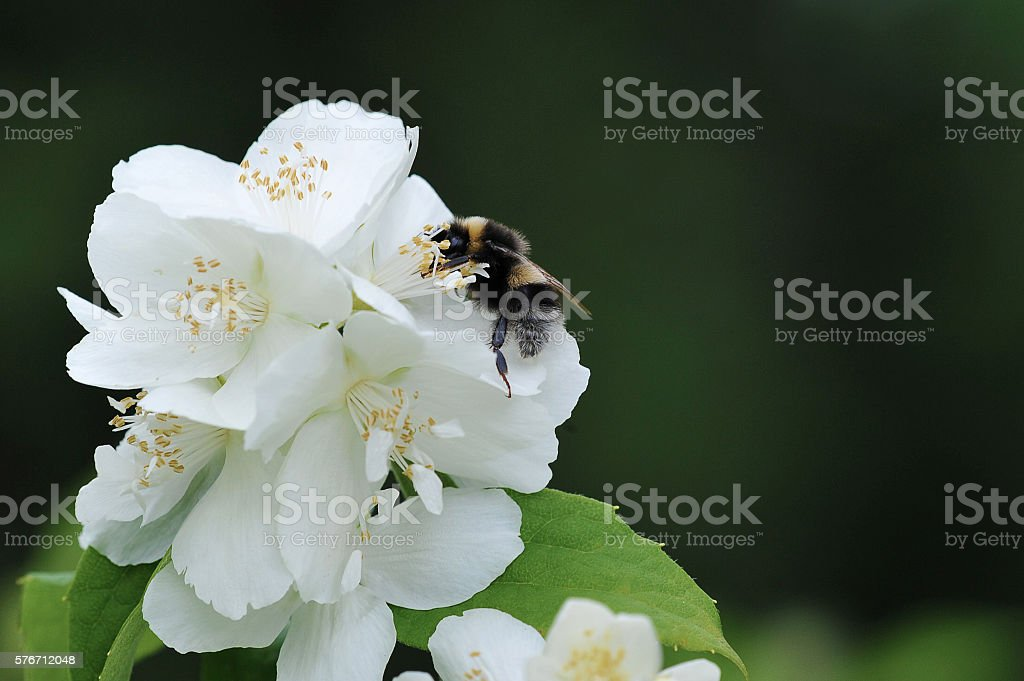 bumblebee collects nectar from white flowers stock photo