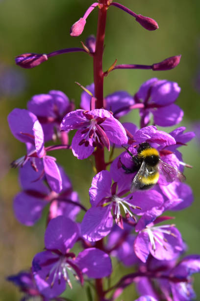A bumblebee collects pollen from fireweed blossoms stock photo