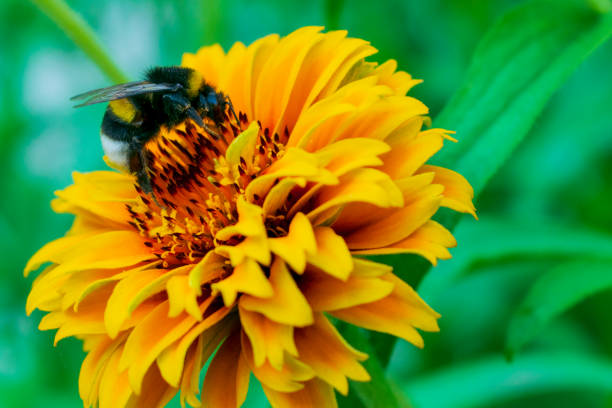 bumblebee collects pollen on a yellow flower, close-up - bumblebee stock pictures, royalty-free photos & images