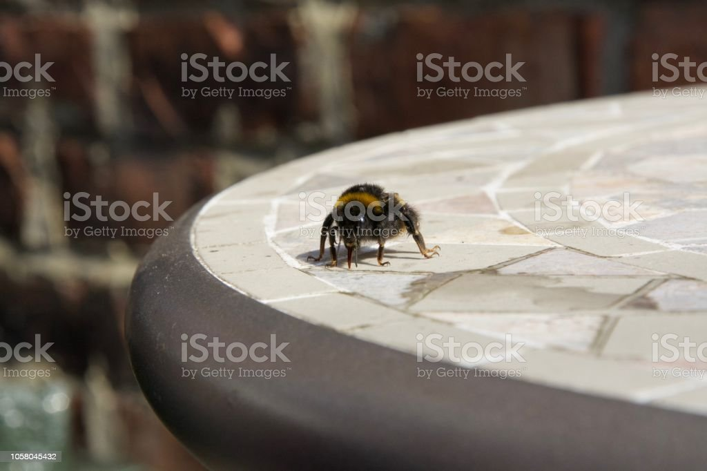 Fed some sugar water to this tired little bee, soon flew off feeling...