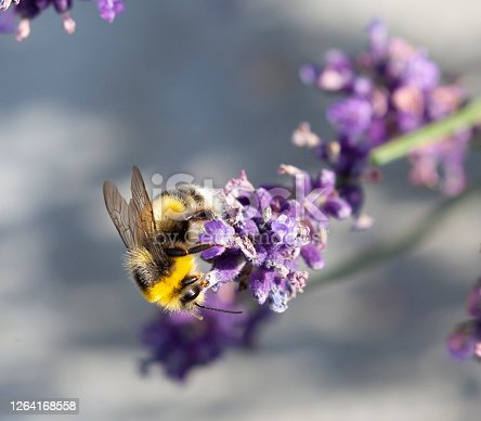 A Bumblebee, probably Buff-tailed Bumblebee, Bombus terrestris, feeding from a Lavender flower against a defocussed background