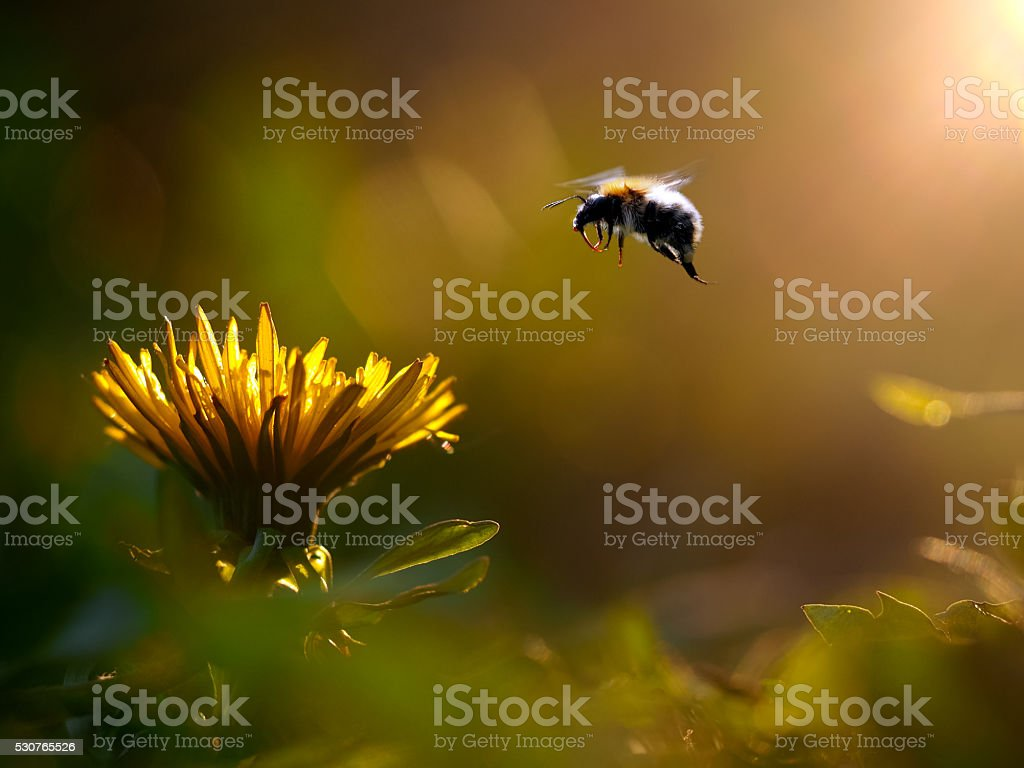 Bumblebee flies to the flower stock photo