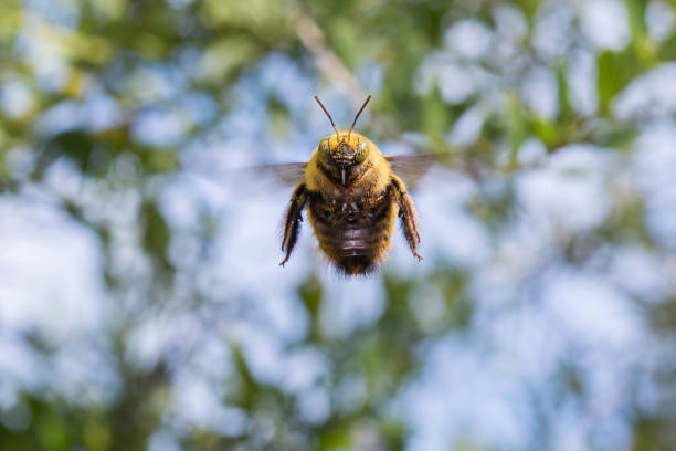 A bumblebee flying in the garden close up facing the camera. stock photo