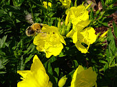 Bumblebee flying over of  a evening-primrose