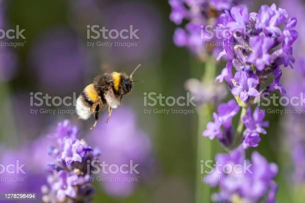 Photo of Bumblebee flying to purple flower