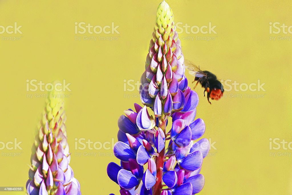 Bumblebee flying towards a lupine flower stock photo