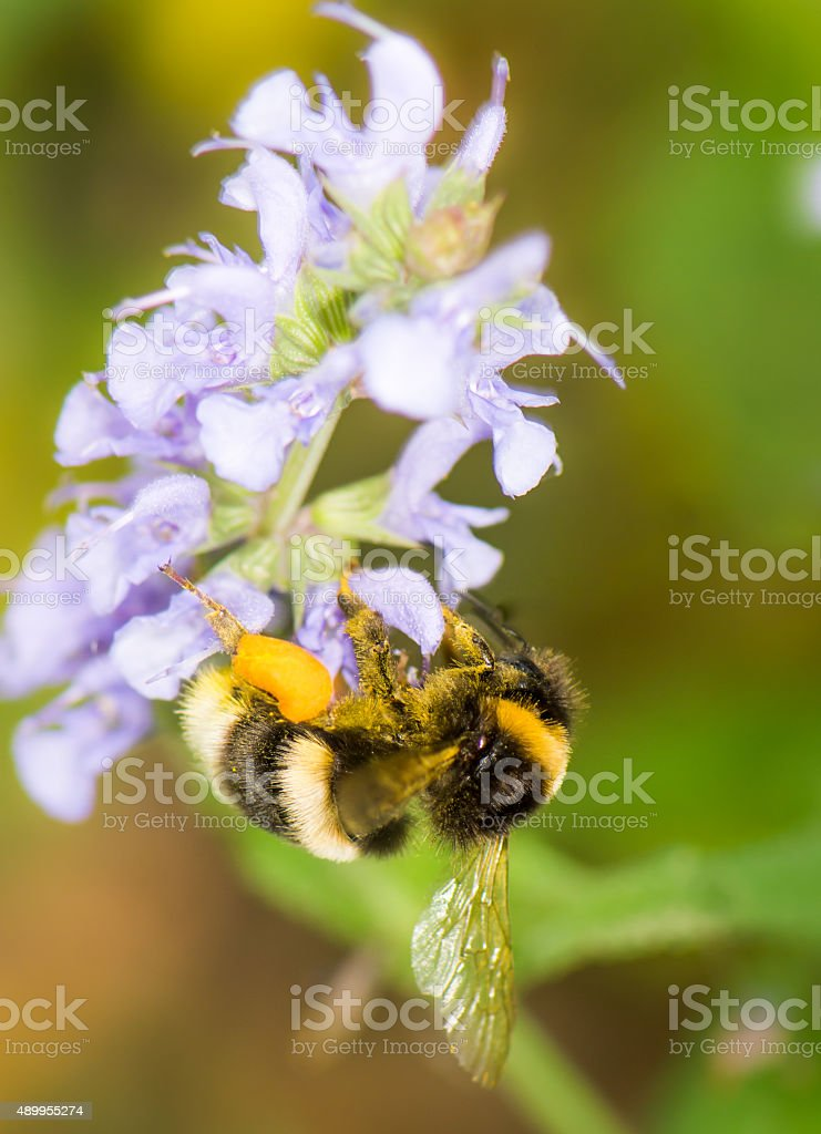 Bumblebee full of pollen stock photo