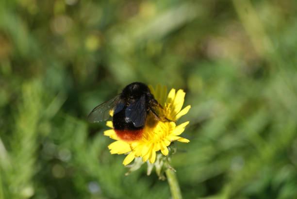 Bumblebee samla nektar bildbanksfoto