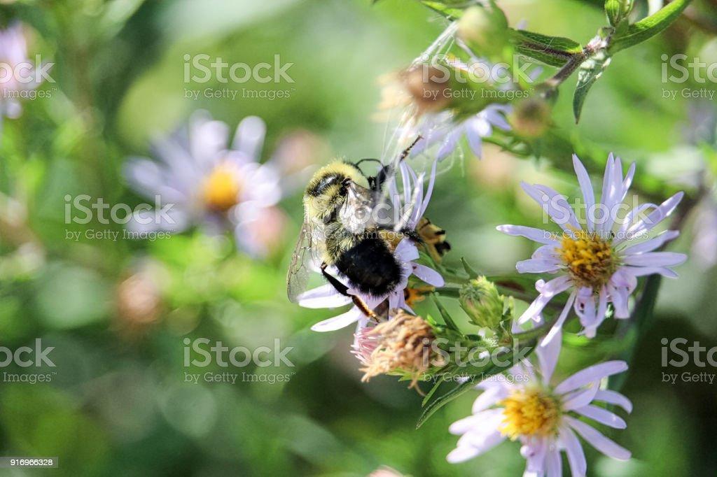 Un bourdon recueille le nectar sur une fleur locale - Photo