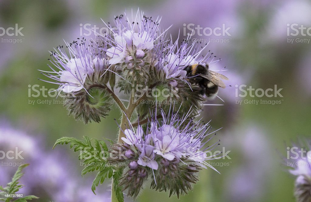 Bumblebee in a blue flower stock photo