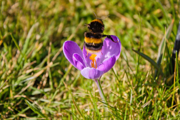 Bumblebee in a crocus blossom stock photo