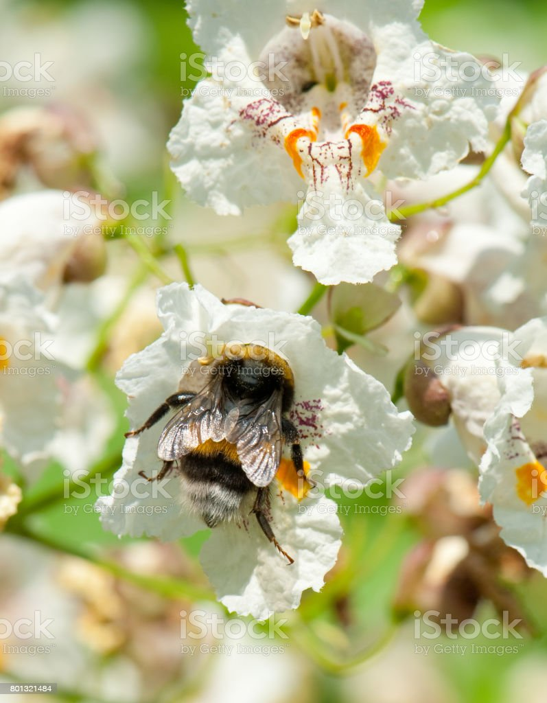 Bumblebee in a flower of a Cigar tree stock photo
