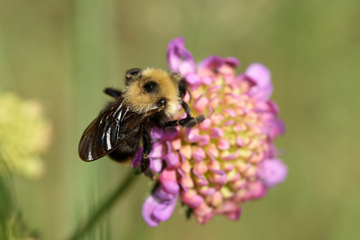 Bumblebee In A Purple Flower Stock Photo - Download Image
