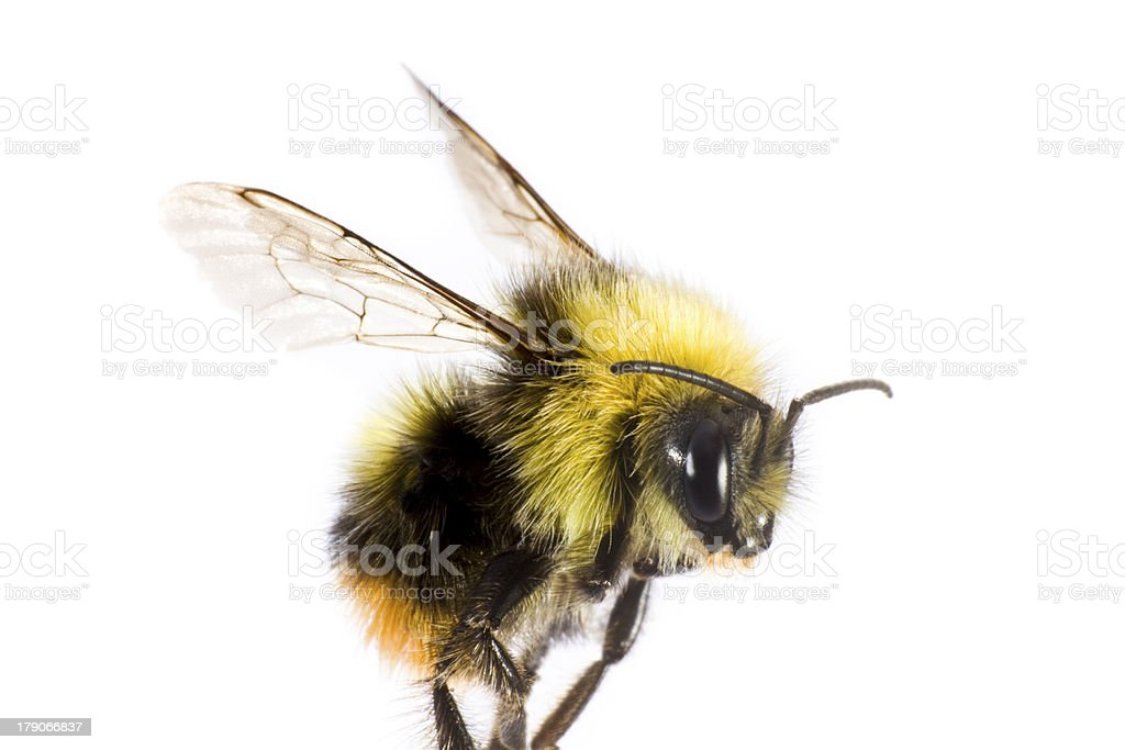 bumblebee in close up stock photo